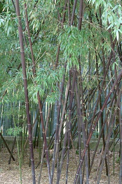 Phyllostachys nigra-Bambú negro.