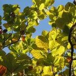 (*) Fagus sylvatica, en otoño antes de defoliar.