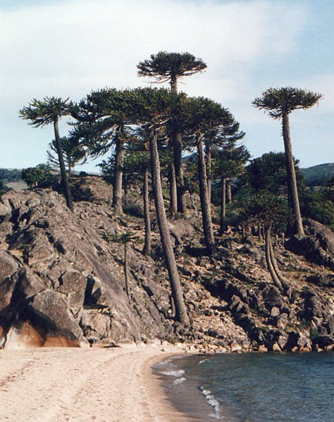 Araucaria araucana, ejemplar adulto. Foto: Wikipedia.