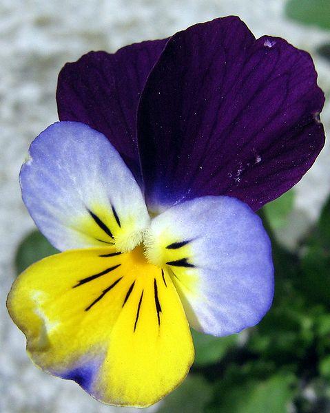 (*) Viola tricolor
