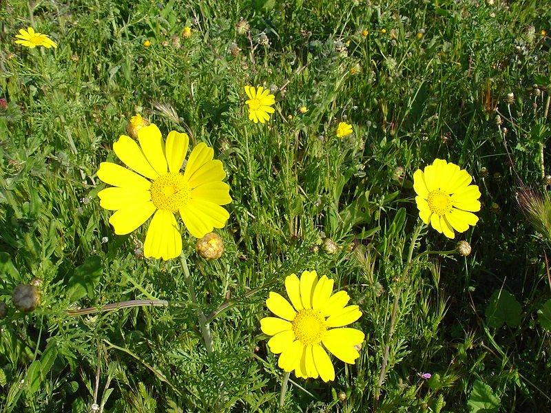 (*) Chrysanthemum coronarium