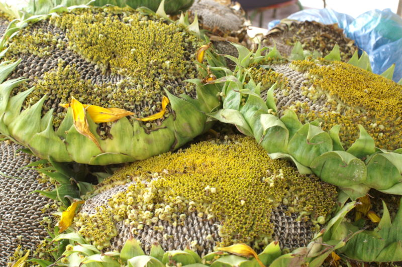 (*) cabezuelas de Girasoles, vendidas como aperitivos en los mercados de China.