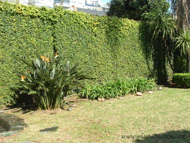 Strelitzia reginae con macizo de Agapanthus africanus