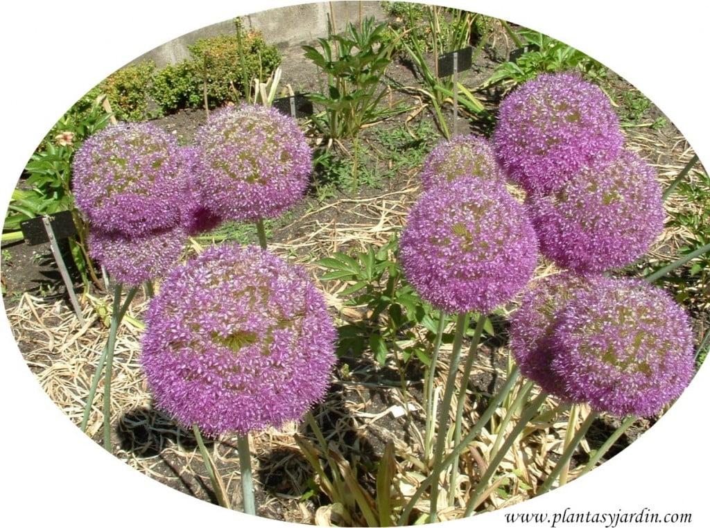 Allium giganteum detalle flor