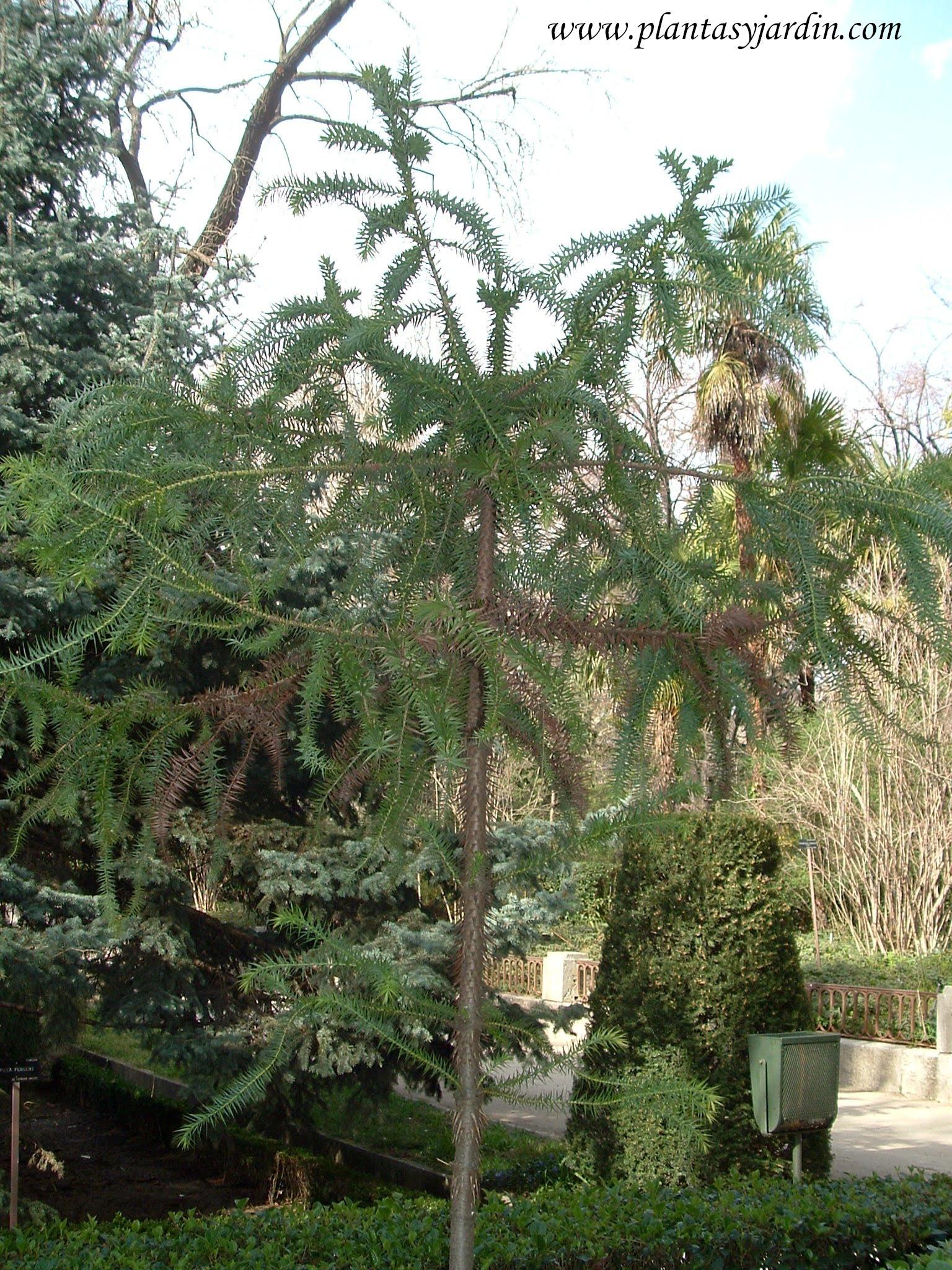Araucaria angustifolia.