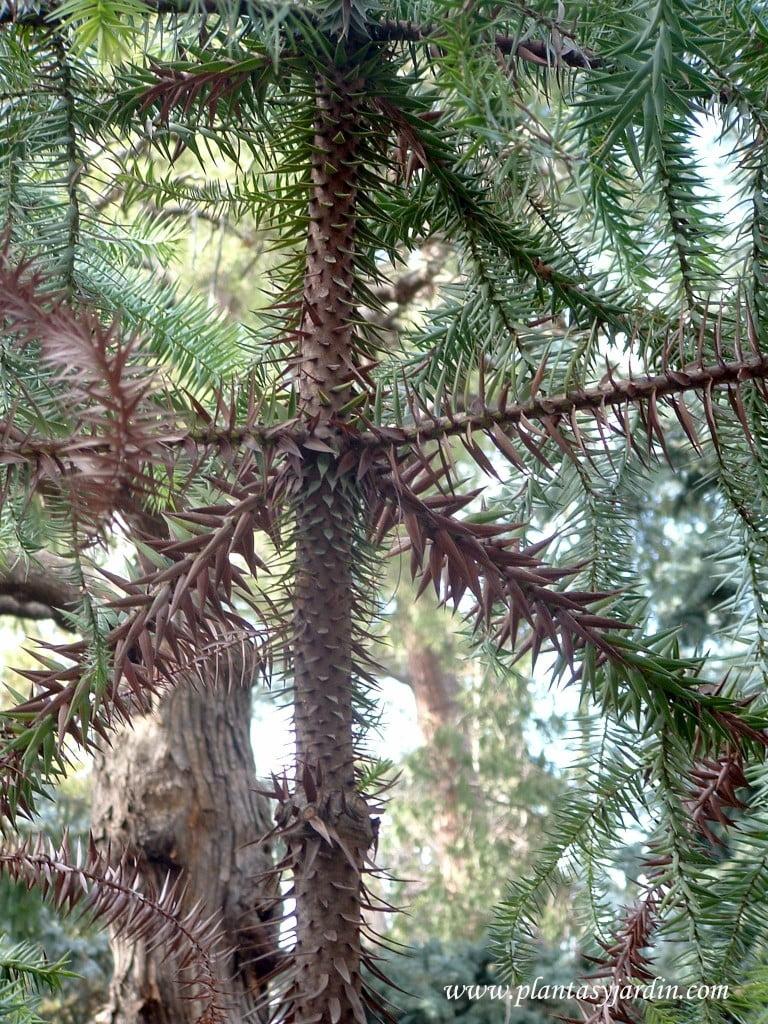 Araucaria angustifolia, detalle de ramas en verticilio.