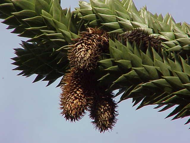 Araucaria araucana, hojas punzantes y coriáceas. Foto: Wikipedia.