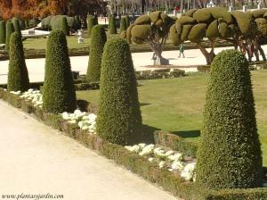 Arte topiario, Laurus nobilis en formas cónicas, en el Jardín del Parterre-Parque del Buen Retiro-Madrid.