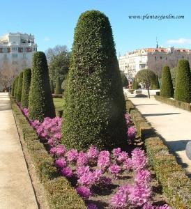 Arte topiario con Laurus nobilis-Laurel en el Jardín del Parterre en el Parque del Buen Retiro-Madrid.