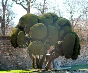 Cupressus en arte topiario en el Jardín del Parterre-Parque del Buen Retiro-Madrid.