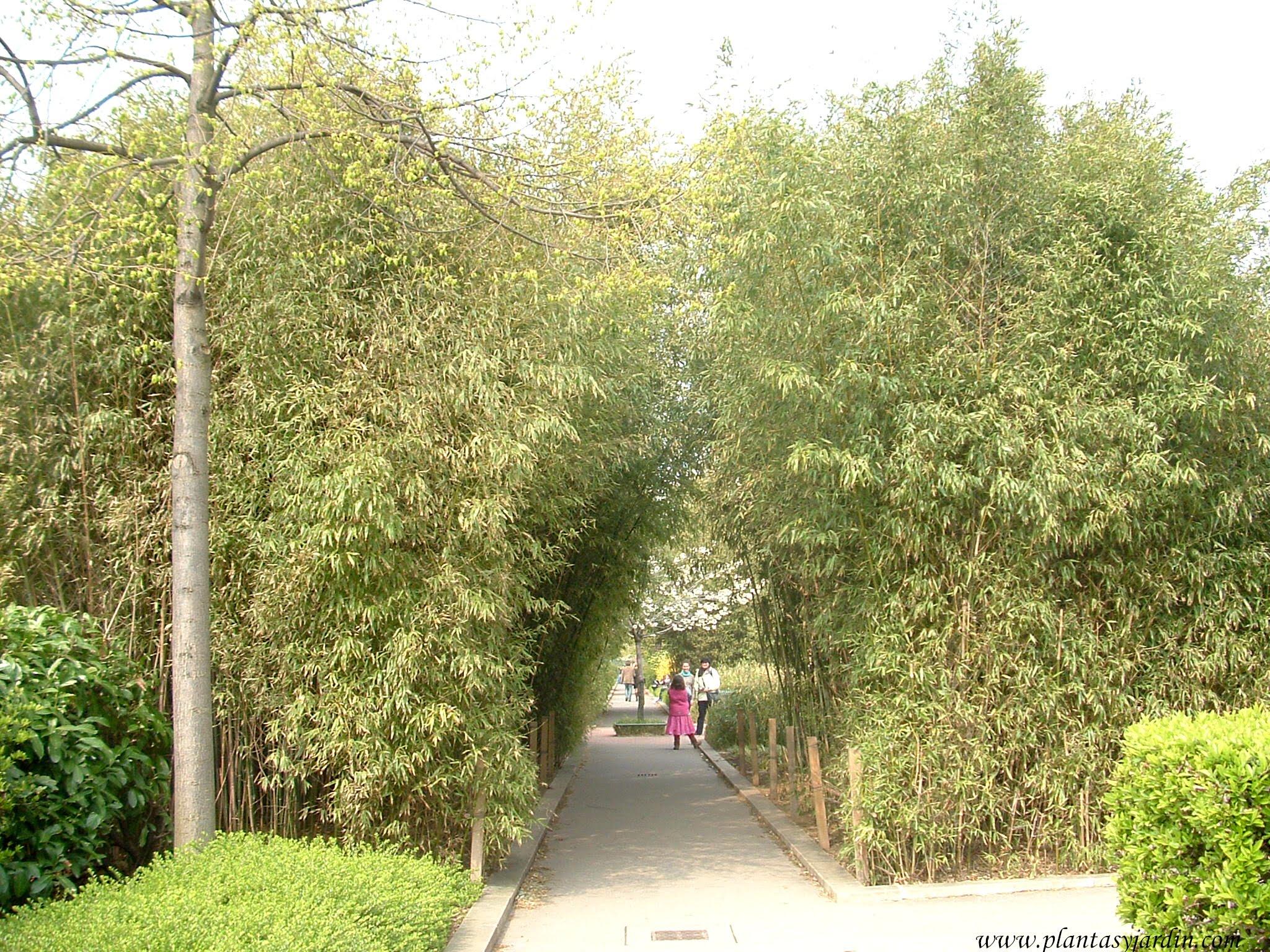 Phyllostachys aurea en la Promenade Plantée-Paris