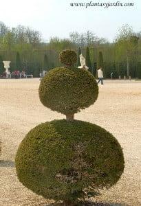 Arte topiario, sobre Taxus baccata-Tejo, en los jardines de Versalles.