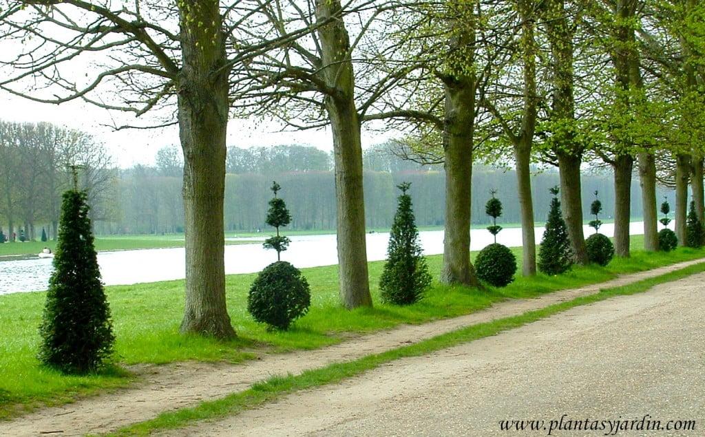 Arte topiario al borde del lago artificial en los jardines de Versalles.
