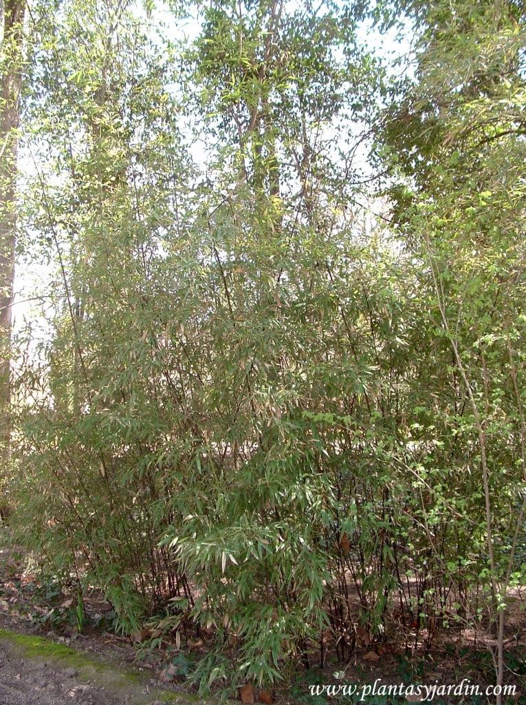 Phyllostachys nigra cultivada en un jardín.