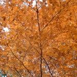 Fagus sylvatica-Haya, detalle de follaje y ramas.