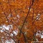 Fagus sylvatica-Haya, detalle follaje color otoñal.