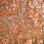 "Fagus sylvatica ""Pendula"" detalle follaje, en otoño."