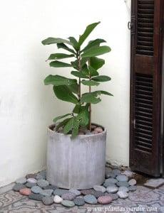 Ficus lyrata con piedra bola en cilindro de fibrocemento.