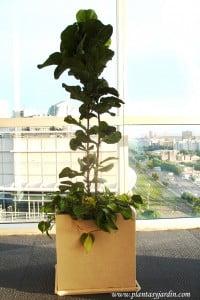 Ficus pandurata con Cordatum variegado y chips en cubo de piedra paris