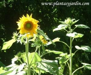 Girasol-Helianthus, floración dispuesta en capítulos.