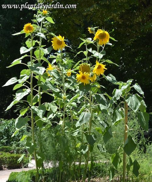 Girasol en flor, herbácea anual