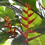 Heliconia psittacorum, nativa de Centroamérica