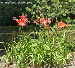 """Hemerocallis """"Chicago Firecracker"""", florecido en verano."""