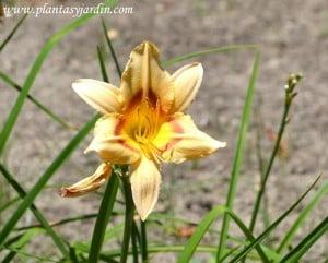 """Hemerocallis """"Varsity"""" cultivar."""