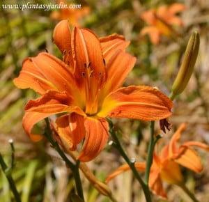 Hemerocallis de flor naranja, en verano