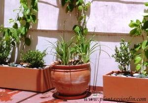 Hemerocallis en terracota