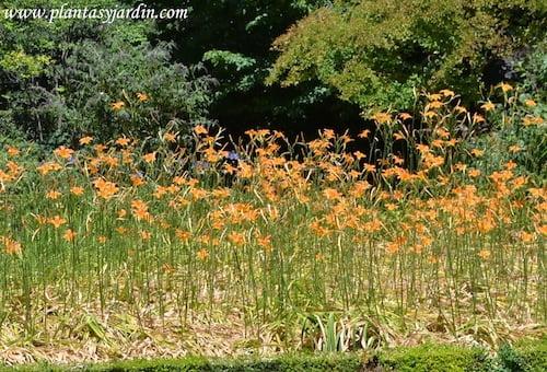 Hemerocallis en verano.