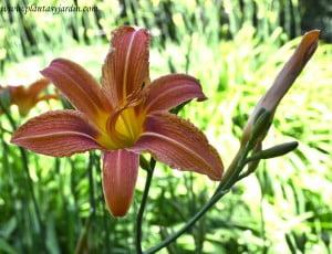 Hemerocallis flor