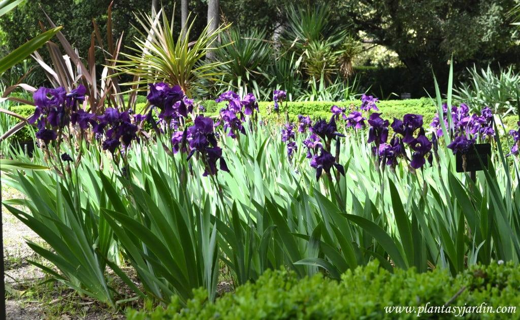 Iris germanica, florecidos a comienzos de primavera.