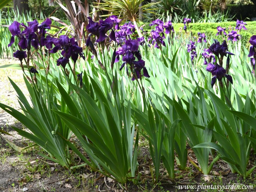 Iris germanica, nativos de la región mediterránea.