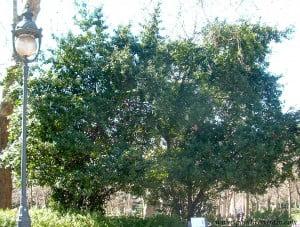 Laurus nobilis-Laurel, 2 ejemplares adultos