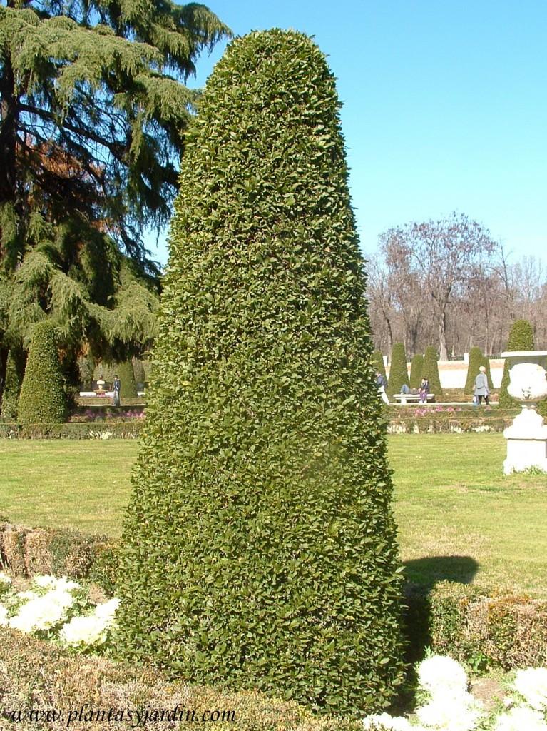 Laurus nobilis-Laurel, podado en formas cónica