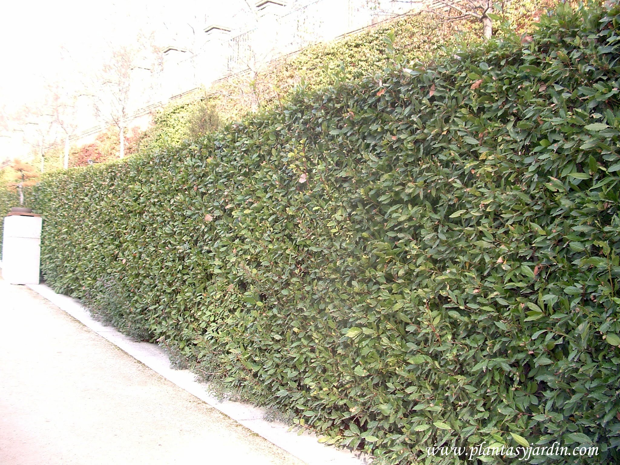 Laurus nobilis cerco podado plantas jard n for El jardin de eugenia