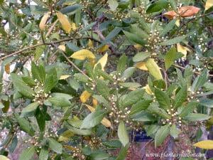 Laurus nobilis, detalle follaje