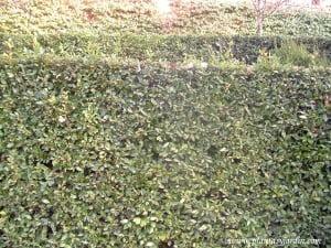 Laurus nobilis, en cerco