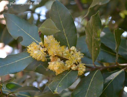 Laurus nobilis en flor a comienzos de la primavera