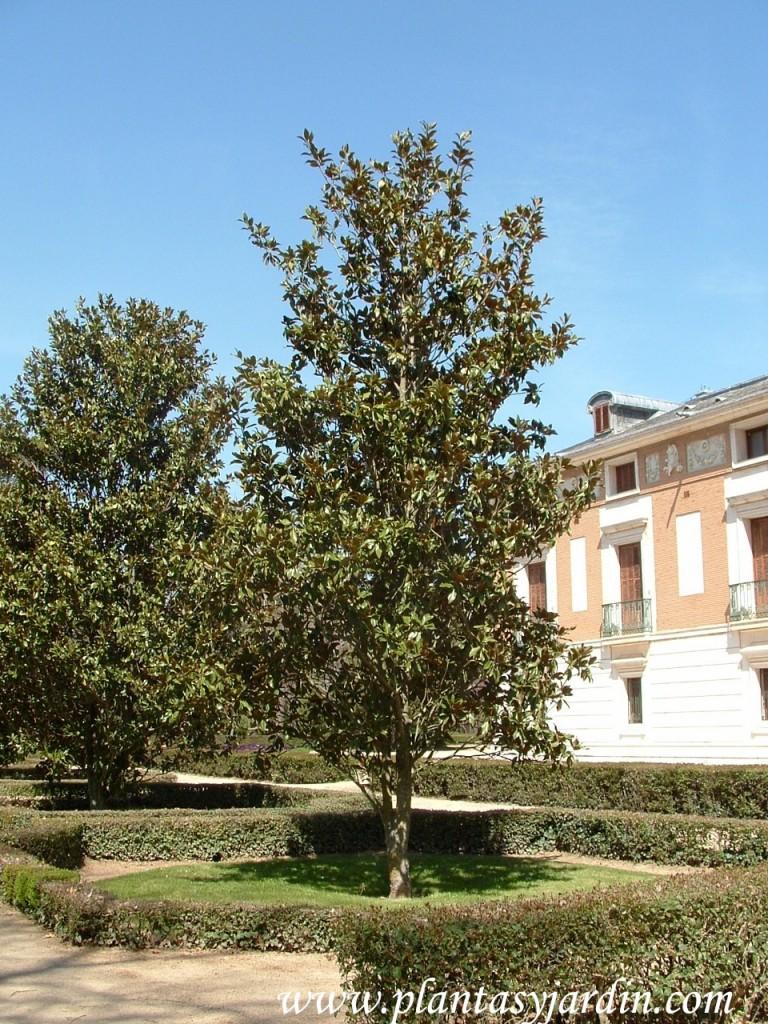Magnolia grandiflora, ejemplar jóven.