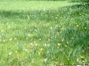 Narcisos amarillos naturalizados en el medio del campo.