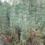 Podocarpus nubigenus.