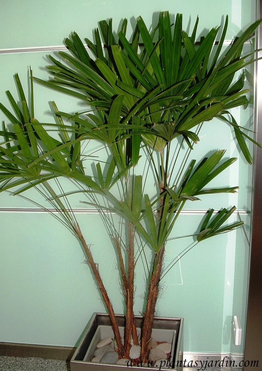 Planta interior palmera dise os arquitect nicos for Iluminacion para palmeras