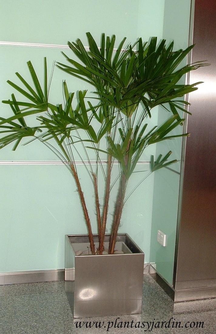 Rhapis excelsa la palma bamb plantas jard n for Palmeras de interior