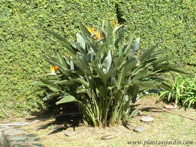 Strelitzia reginae-Ave del paraíso-Flor de pájaro