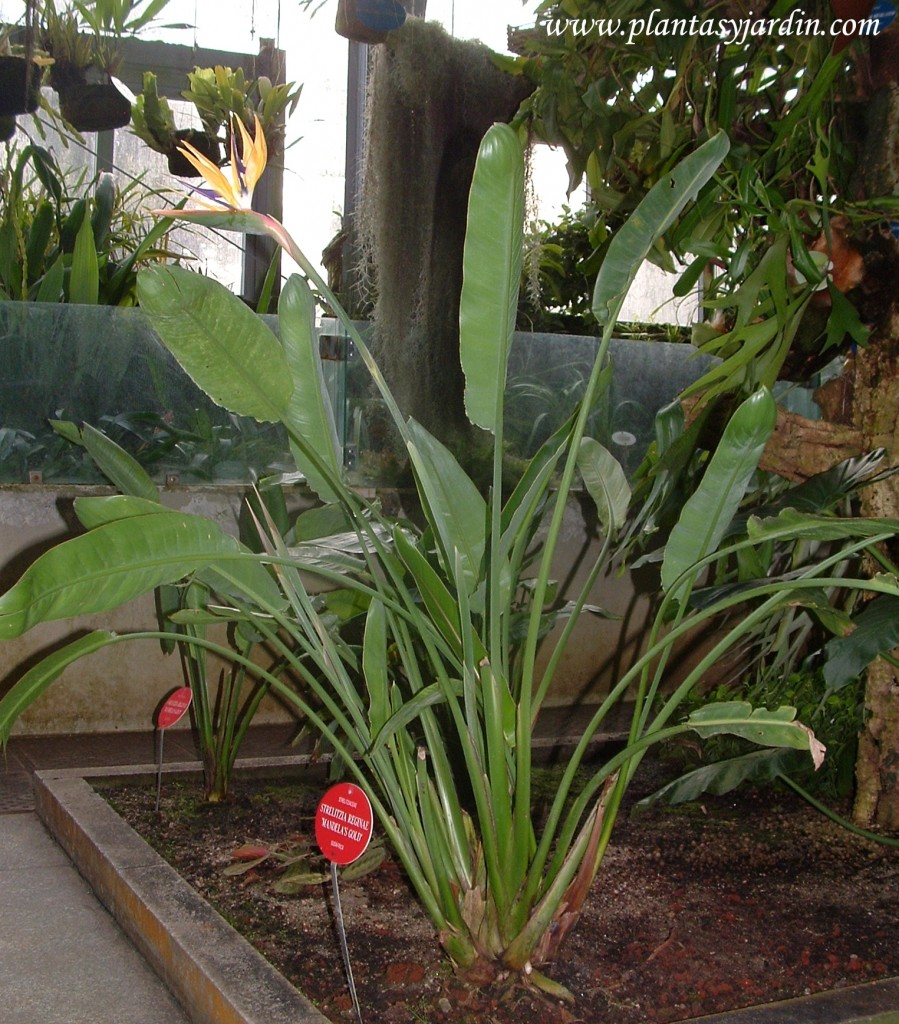 "Strelitzia reginae ""Mandela's Gold"" cultivada en invernadero"