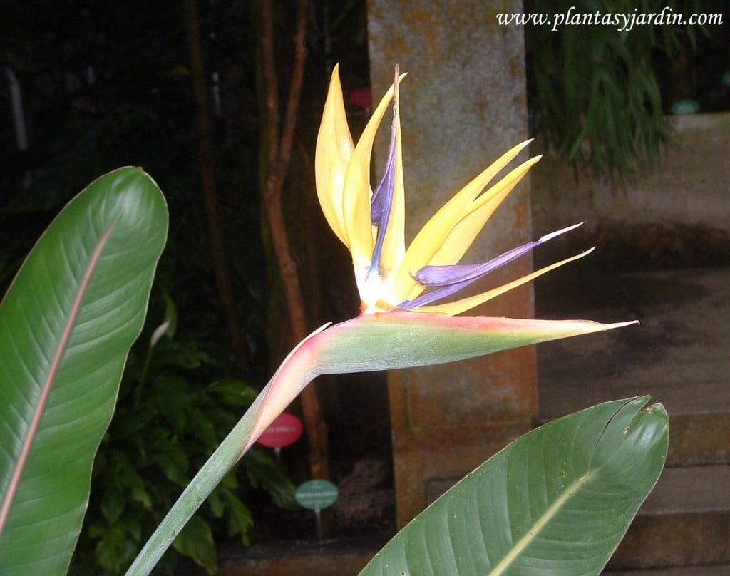 "Strelitzia reginae ""Mandela's Gold"", detalle de flor"