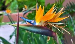 Strelitzia reginae la flor esta formada por 3 sépalos naranjas y 3 pétalos azules