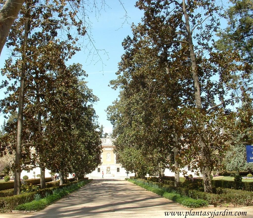 camino principal delineado con Magnolias grandiflora